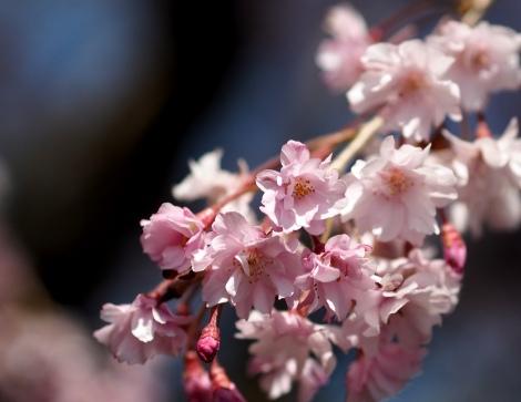 magome pink sakuras