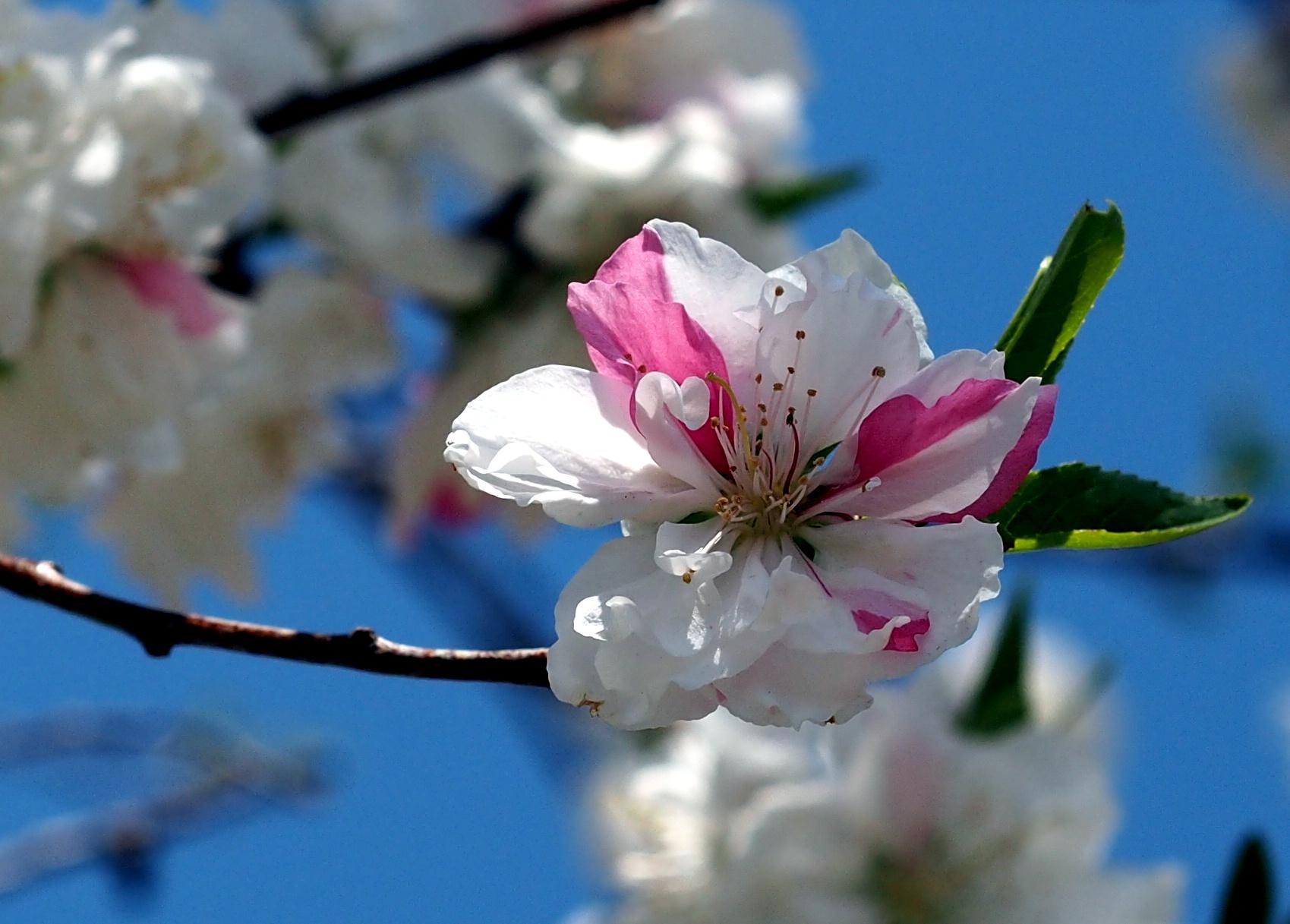 hybrid sakura