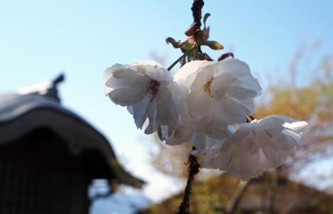 white sakuras