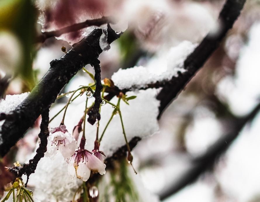 sakura and ice