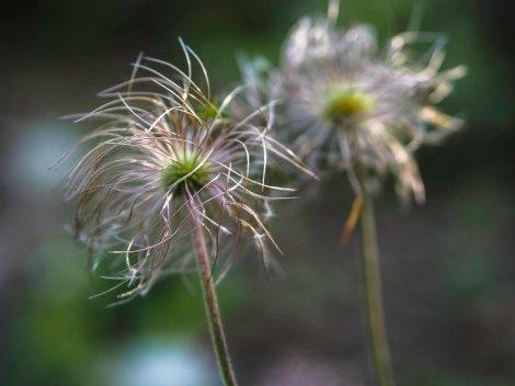 grass flower - close up