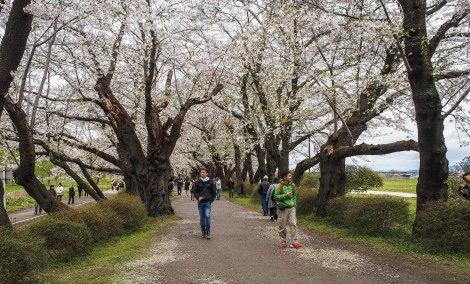 rows of sakuras