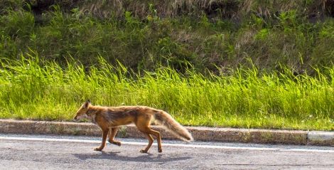 a red fox sneaked past, when it thought we weren't watching