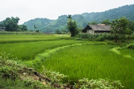padi fields